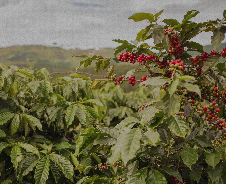 Marley Coffee - Coffee Cherries